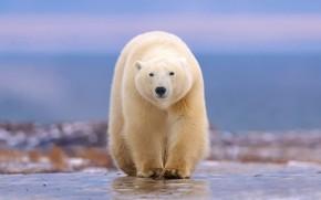 Wallpaper polar bear, walk, bokeh