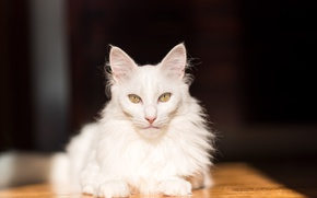 Picture cat, look, white
