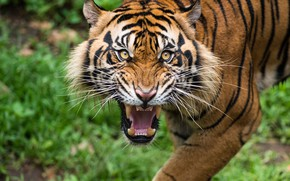 Picture Tiger, looking, teeth, grunting