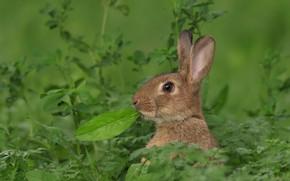 Wallpaper hare, leaf, grass, ears, face