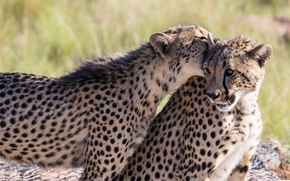 Picture the game, predators, bite, pair, wild cats, two, young, cheetahs