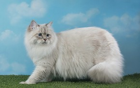 Picture background, beauty, blue eyes, picture, fluffy wool, cat Neva