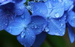 Picture drops, macro, blue, hydrangea