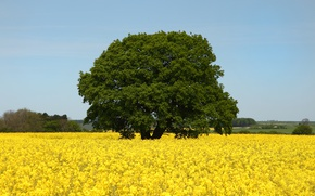 Picture Tree, Spring, May, Nature, Tree, Spring, Flowering, May, Flowering, Yellow flowers, Yellow box, Yellow flowers, ...