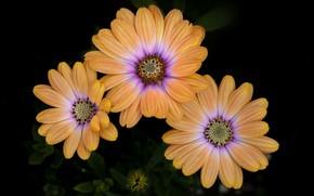 Picture nature, background, petals, Osteospermum