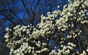 Picture tree, flowering, flowers, Magnolia
