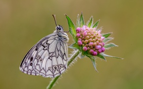 Picture macro, butterfly, Siwiec, Galatea