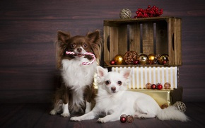 Picture dogs, balls, Christmas, gifts, New year, box, a couple, Chihuahua