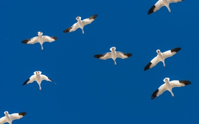 Picture the sky, flight, birds, wings, geese