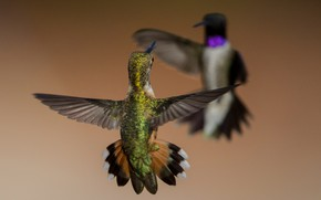 Picture birds, wings, Montenegro archilochus, Buffy Hummingbird