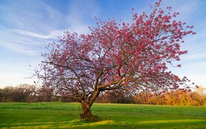 Picture field, tree, flowering