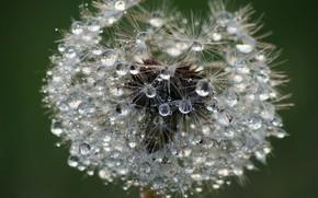Picture drops, macro, nature, Rosa, dandelion