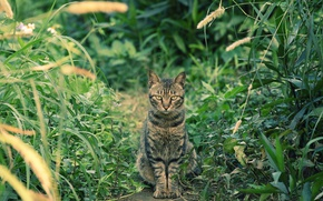 Picture grass, cat, look, Kote