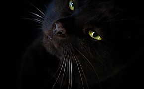 Picture cat, look, black