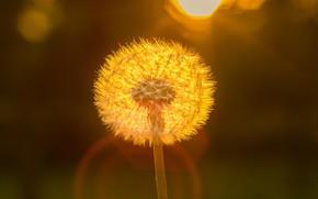 Picture dandelion, at sunset, blur bokeh