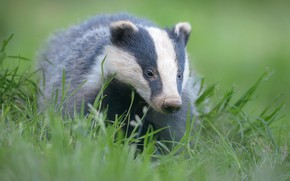 Picture animals, grass, look, face, close-up, green, background, portrait, nose, badger