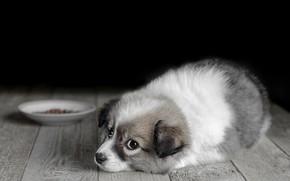 Wallpaper dog, look, saucer, Board, puppy, floor, food