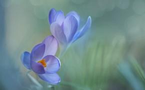 Picture macro, flowers, spring, crocuses, bokeh