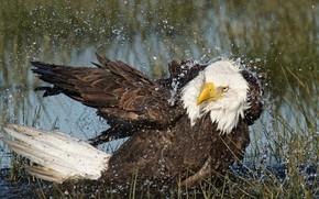 Picture water, bird, predator, Bald eagle
