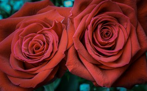 Picture roses, pair, red