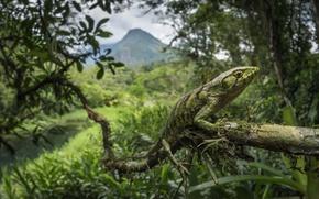 Picture lizard, reptile, Polychrus marmoratus