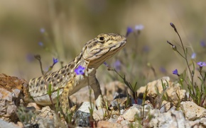 Picture nature, background, lizard