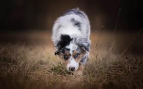 Wallpaper autumn, forest, dog, puppy, walk, spotted, Australian shepherd, blade, Aussie