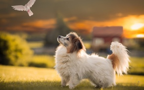 Picture field, white, the sun, rays, light, sunset, house, bird, glade, dove, cute, dog, puppy, Sunny, ...