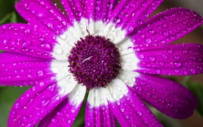Picture flower, drops, macro, Cineraria