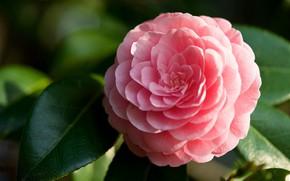Picture pink, petals, Camellia