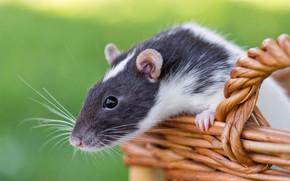 Picture basket, rat, rodent, rat