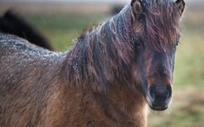 Picture animal, horse, mane
