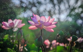 Picture the sun, flowers, nature, glare, pink, Lotus, bokeh
