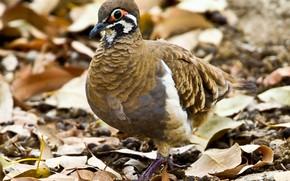 Picture nature, bird, dove, beak