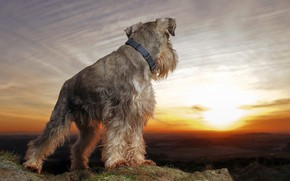 Picture the sky, the sun, landscape, sunset, dog, hill, Schnauzer, looks into the distance