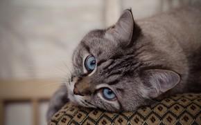 Picture cat, cat, look, muzzle, blue eyes, cat