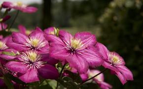 Picture pink, Bush, flowering, clematis