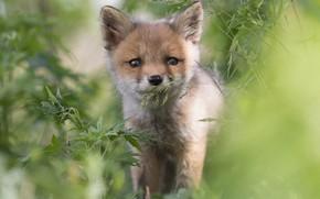 Picture grass, look, Fox, face, Fox