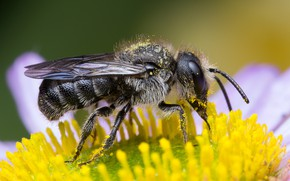 Picture pollen, macro, background, collection, flower, eyes, insect, yellow, antennae, Daisy, bee
