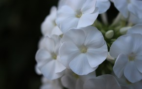 Picture Phlox, Macro, White