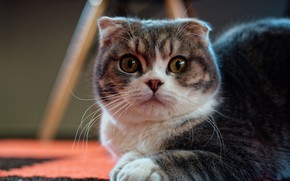 Picture cat, look, muzzle, Scottish fold, Scottish fold cat