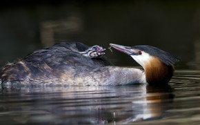 Picture water, bird, chick