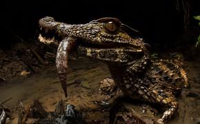 Picture nature, background, Paleosuchus trigonatus, Crowned dwarf caiman