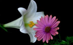 Picture macro, nature, Lily, petals, Echinacea
