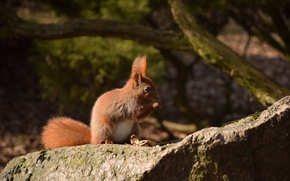Picture stone, protein, tail, squirrel