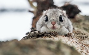 Wallpaper nature, Protein, Common flying squirrel