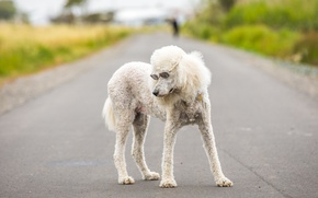 Picture dog, glasses, poodle