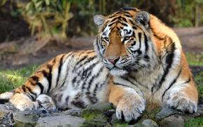 Wallpaper stones, cats, tiger, wild cats, background, wildlife, lies, look