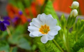 Picture Spring, Flower, Spring, Bokeh, Bokeh, White flower, Primula, Primula