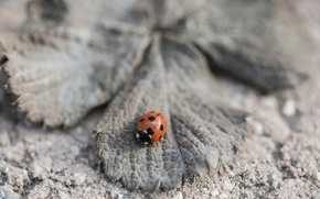 Picture nature, sheet, ladybug